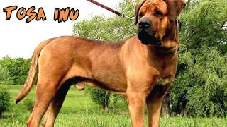 getlinkyoutube.com-Top 10 Strongest Dogs in the World 🐕