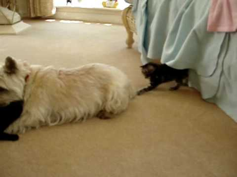 Terry The Terrier & His Cute Kittens