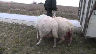 getlinkyoutube.com-The cruel lamb industry. A baby being separated from his mother.