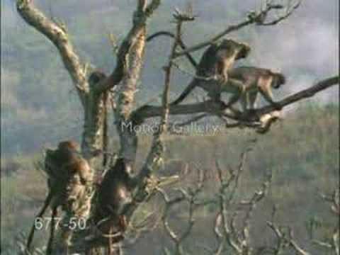maymun üremesi