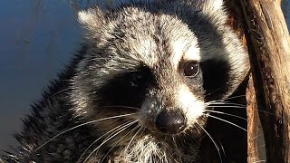 getlinkyoutube.com-Simple Trapping Sets - Trapping Coon with Sardines