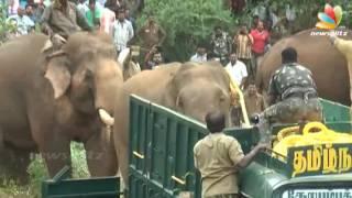 Kumki Elephant Real Scene: Wild Elephant Caught With The Help Of Kumki   Fight