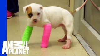 getlinkyoutube.com-Remember Blanche? Cute Puppy in Casts, with the STINKIEST Poo
