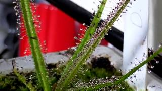 getlinkyoutube.com-Drosera Regia Root Cutting Success Carnivorous Plant King Sundew