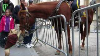 getlinkyoutube.com-Adorable Dog (Frenchie!) Plays with NYPD Police Horse on Wall Street