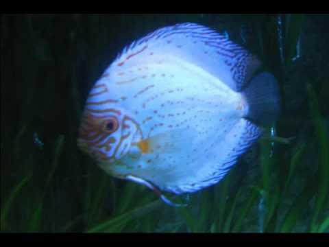 los mejores ejemplares de peces disco mkr