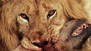 getlinkyoutube.com-Lions vs Hyenas ● Fight To Death ● National Geographic Documentary 2015