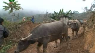 getlinkyoutube.com-Chợ trâu bò miền núi - VTC16