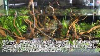 アクアリウム 水換え 60cm水槽 Japanese Aquarium