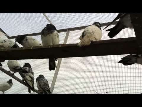 Ustad Chaudhary Junaid's Teddy Golden Pigeons VIDEO-00368-(0619)