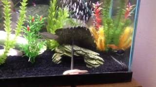 getlinkyoutube.com-Are my fish mating