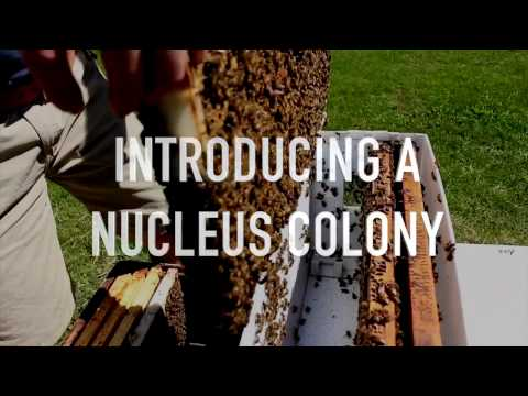 Introducing a Nucleus Colony