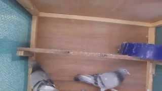 getlinkyoutube.com-حمام المسكي الازرك الاعجب والرجل بطة ونص لسان مطيار نهار كامل بكافة القواعد 07906389600