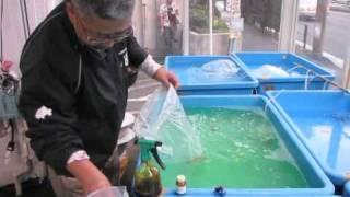 getlinkyoutube.com-金魚一道 極秘トリートメント公開