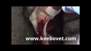getlinkyoutube.com-Cattle,Cow Abscess - How to Remove it - Compilation