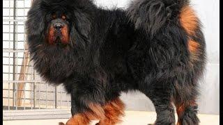 معلومات عن تيبتان ماستيف ..اغلى كلب في العالم!!! TIBETAN MASTIFF