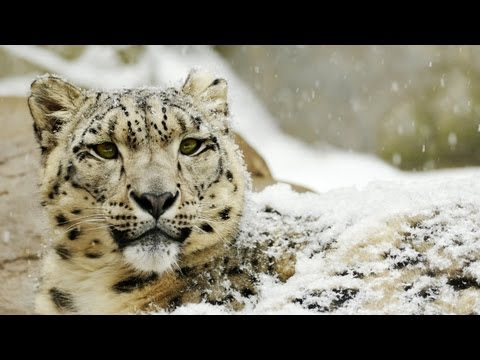 Save the Snow Leopard!