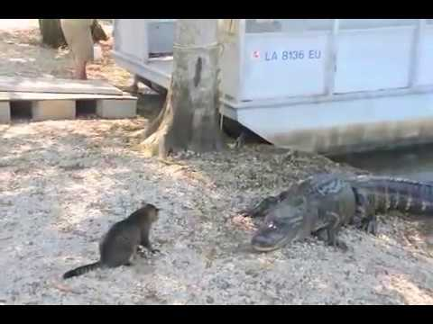 Cat Attacks Vicious Gators