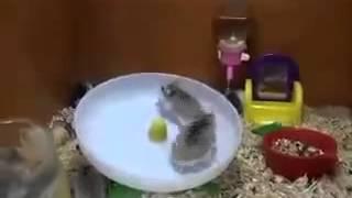 getlinkyoutube.com-Two Hamsters and one Wheel   Два хомяка и одно колесо
