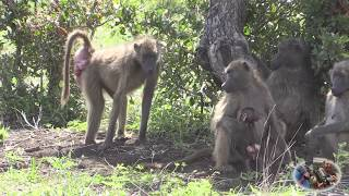 getlinkyoutube.com-The Ugly Baboon Looking For Love