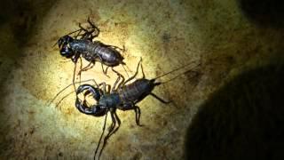 getlinkyoutube.com-Vinegaroon or Whip Scorpion courtship