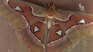 getlinkyoutube.com-<世界最大の蛾>ヨナグニサン 皇蛾  Atlas Moth @シンガポール・バタフライパーク