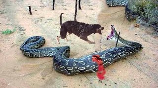getlinkyoutube.com-Dog vs Great Snake 01 Real Fight ► Jarade Chanel Tv