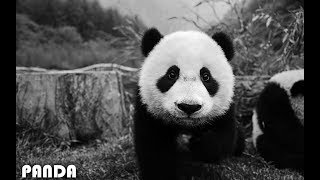 Imagine Dragons - Thunder (Panda Parody)