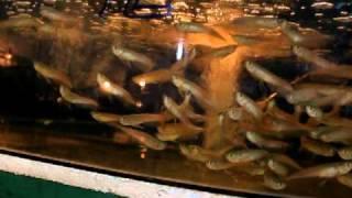 getlinkyoutube.com-Captive breed Silver arowana from Lucky Tropical fish farm