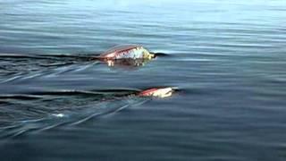 getlinkyoutube.com-เหลือเชื่อ พญานาคโผล่กลางแม่น้ำโขง
