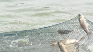 getlinkyoutube.com-Fish Hunting new Technique | Rohu Fishes like fish rain | Catla Fish hunting with net