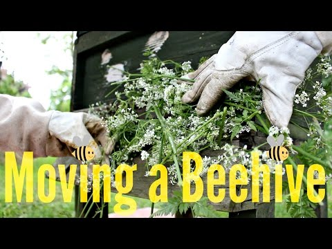How to Move a Beehive?   Beekeeping with Maddie #11