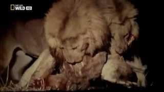 getlinkyoutube.com-Documental HD Juego de Leones  Game of Lion