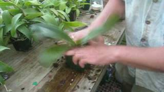 getlinkyoutube.com-Repotting A Phalaenopsis Orchid in a bark mix - step by step instructions
