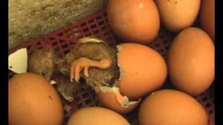 getlinkyoutube.com-Цыплята - рождение, первые шаги