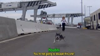 getlinkyoutube.com-Houdini: an intense rescue of an escape artist!  A MUST SEE!