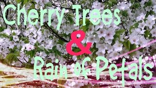 getlinkyoutube.com-【HD】Enchanted Cherry Trees & Rain of Petals