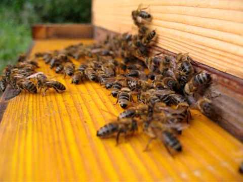 peacefull carniolan bees