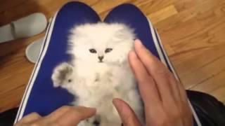 getlinkyoutube.com-أجمل قطة في العالم