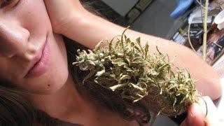 getlinkyoutube.com-Plantar semente de maconha prensada Guarde sua semente