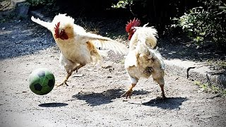 getlinkyoutube.com-Funny Chicken ★ ULTIMATE Funny CHICKEN Compilation (HD) [Funny Pets]