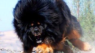 getlinkyoutube.com-10 самых сильных собак в мире! #2. Кузница Фактов.