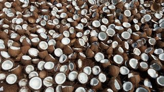 10000 Coconuts Breaking for making Coconut Oil in My Village - How to make Coconut Oil