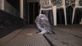 getlinkyoutube.com-Little Owl - Saw-Whet