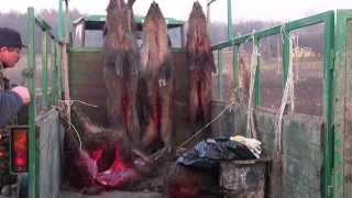 getlinkyoutube.com-Polowanie na dziki z Łajkami. Collective boar hunting with dogs Poland, Krasnystaw