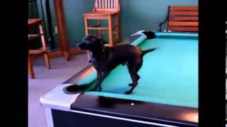 getlinkyoutube.com-Smart Funny Dogs Compilation Top 10