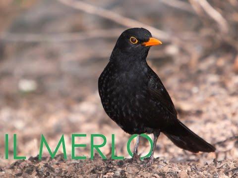 Il Merlo (Turdus merula)