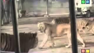 getlinkyoutube.com-호랑이는 사자를 죽이고