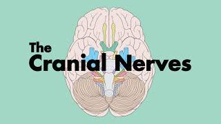 getlinkyoutube.com-How to Remember the Cranial Nerves (Mnemonic) - MEDZCOOL