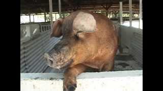 getlinkyoutube.com-Cerdos de Raza Duroc